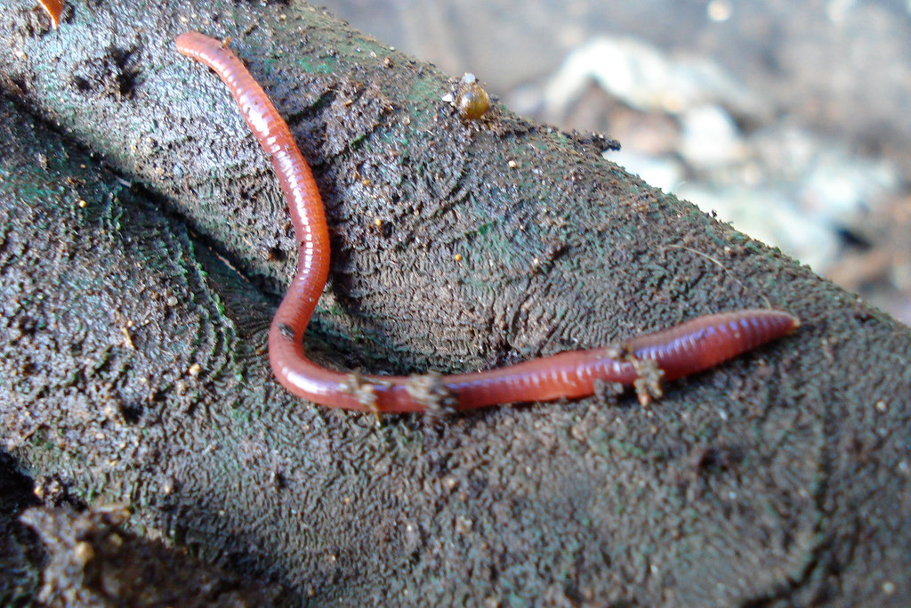 How to Use Worm Castings Red Wigglers